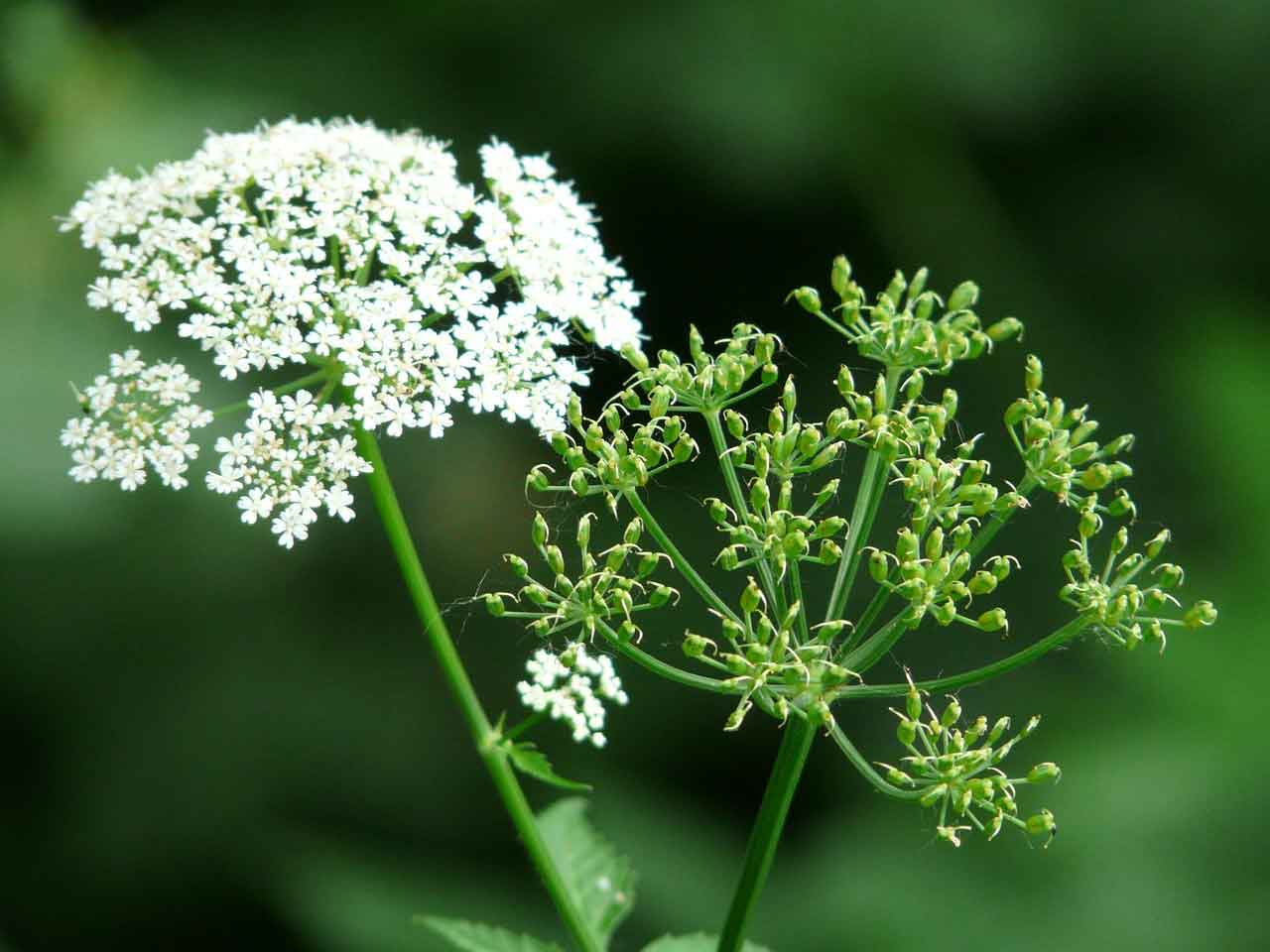 Unkraut Giersch entfernen im Garten mit Chemie oder ohne Chemie?