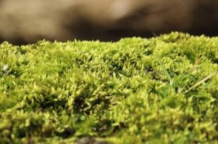Moosvernichter - Im Rasen Moos bekämpfen
