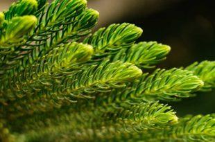 Immergrün als Bodendecker