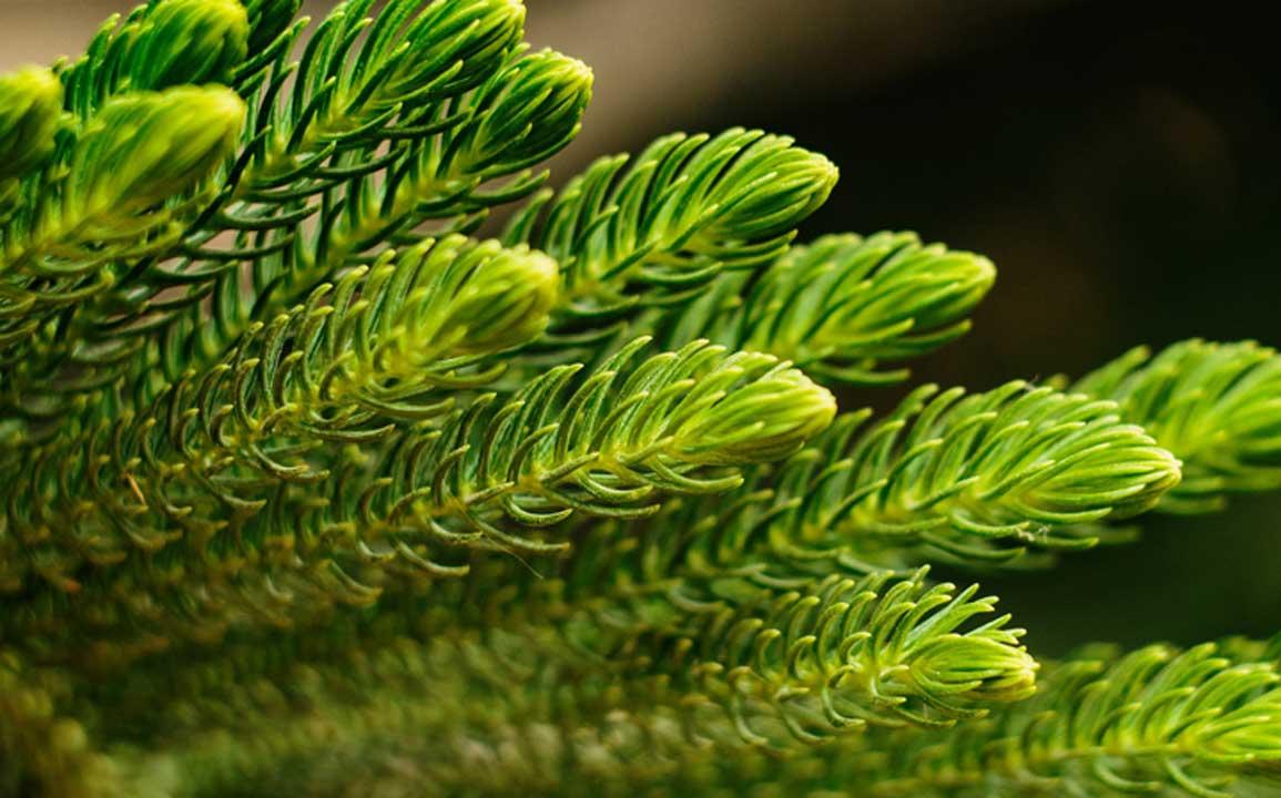 Immergrün als Bodendecker - Machen Sie sich die Gartenarbeit einfach