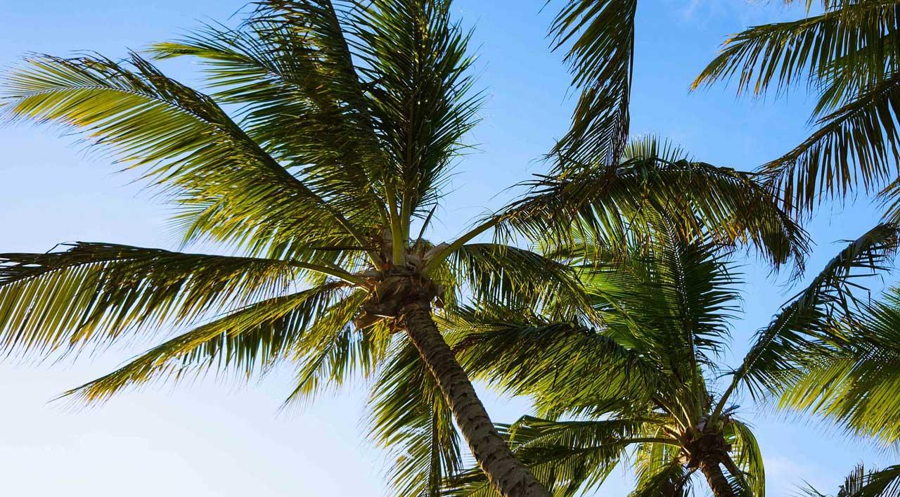 Kokospalme - Urlaubsflair für zu Hause?