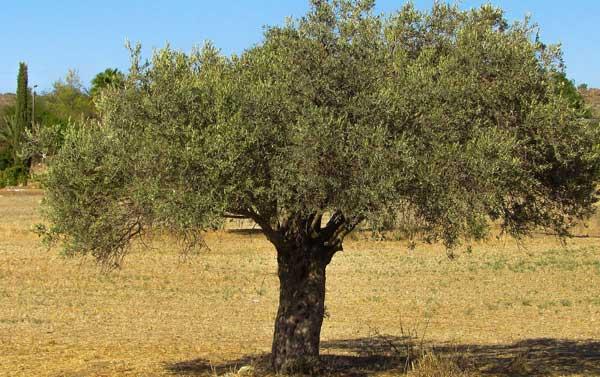Favorit Olivenbaum - Bring Sie etwas mediterranes zu sich nach Hause WB38