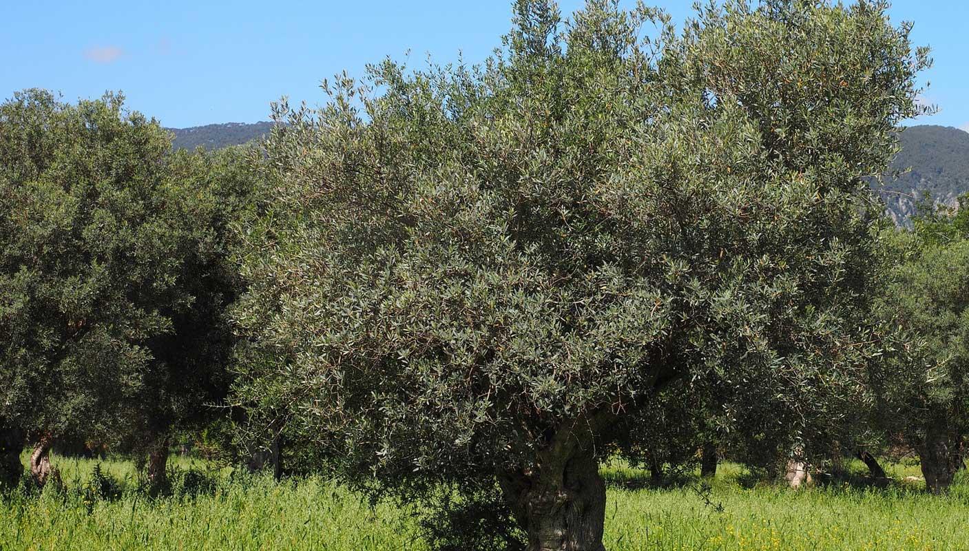 Olivenbaum - Etwas mediterranes für Zuhause