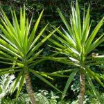 Yucca Palme pflegen - So werten Sie die Pflanze auf