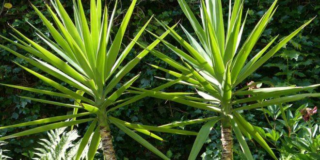yucca palme garten. Black Bedroom Furniture Sets. Home Design Ideas