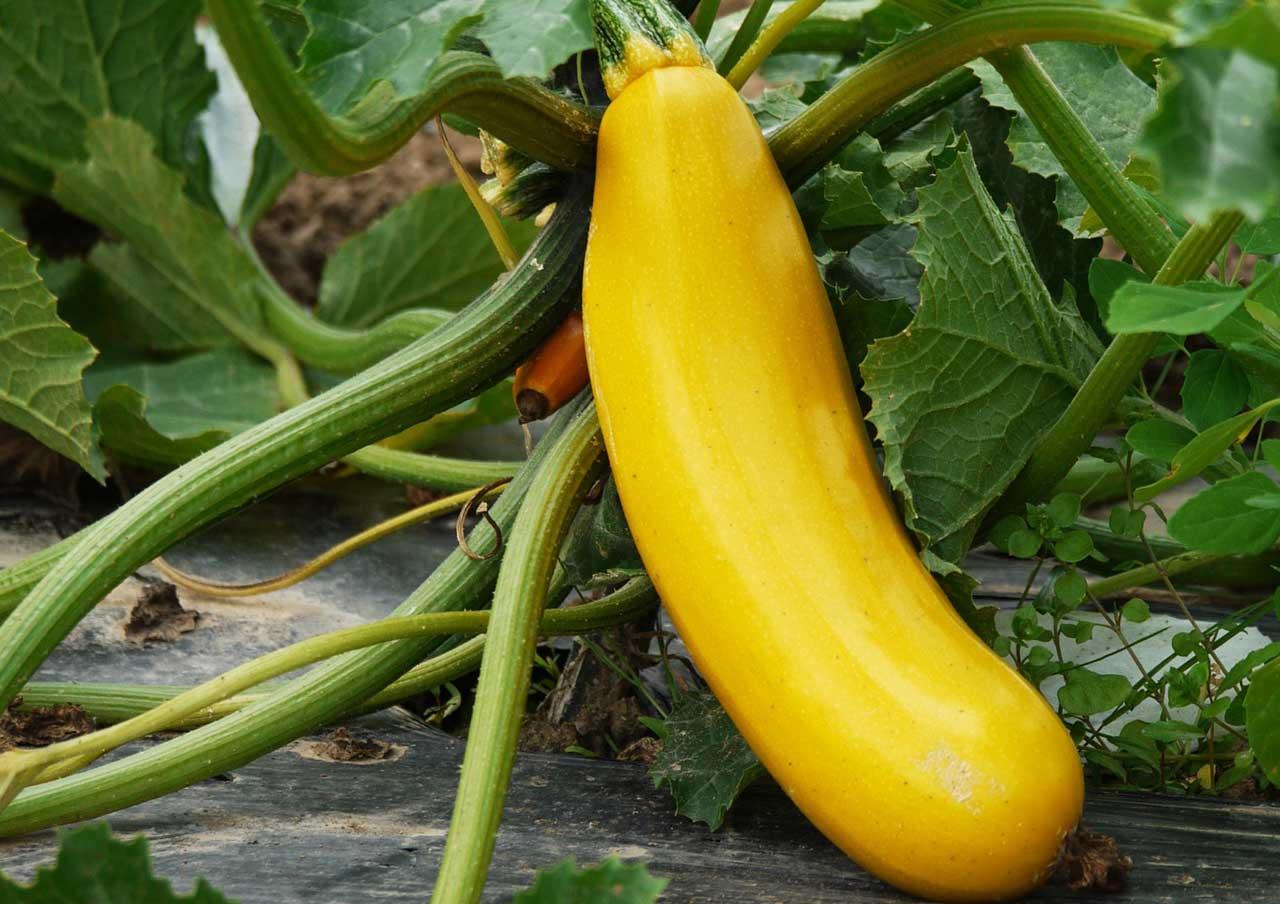 Relativ Zucchini Pflanzen - So einfach lässt es sich gesund leben NN66