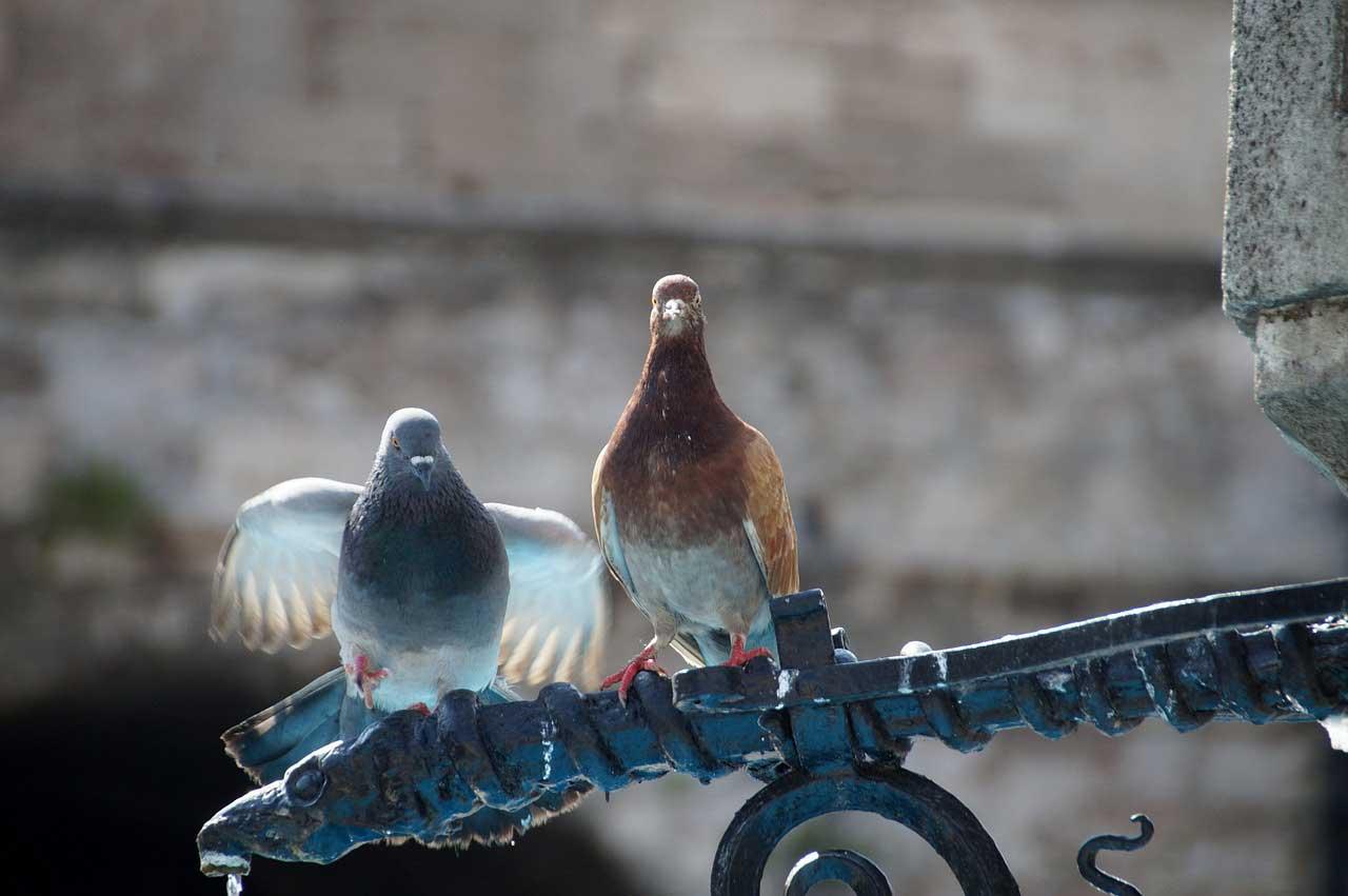 Mit diesen Methoden der Taubenabwehr werden Tauben erfolgreich vertrieben
