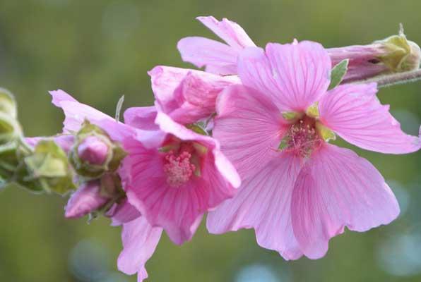 Hibiskus schneiden - Anleitung für Sie zu Hause