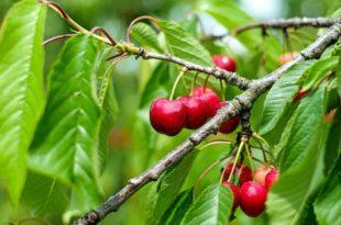 Kirschbaum schneiden - Anleitung für den Rückschnitt