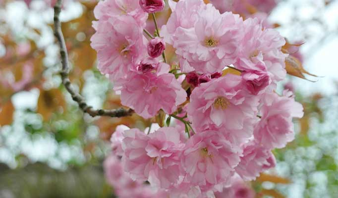 Kirschbaum schneiden - Anleitung für den richtigen Rückschnitt für Zuhause