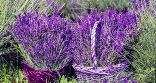 Lavendel schneiden - Anleitung für einen Rückschnitt