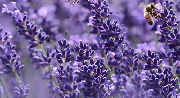 Lavendel schneiden Anleitung - So machen Sie es richtig