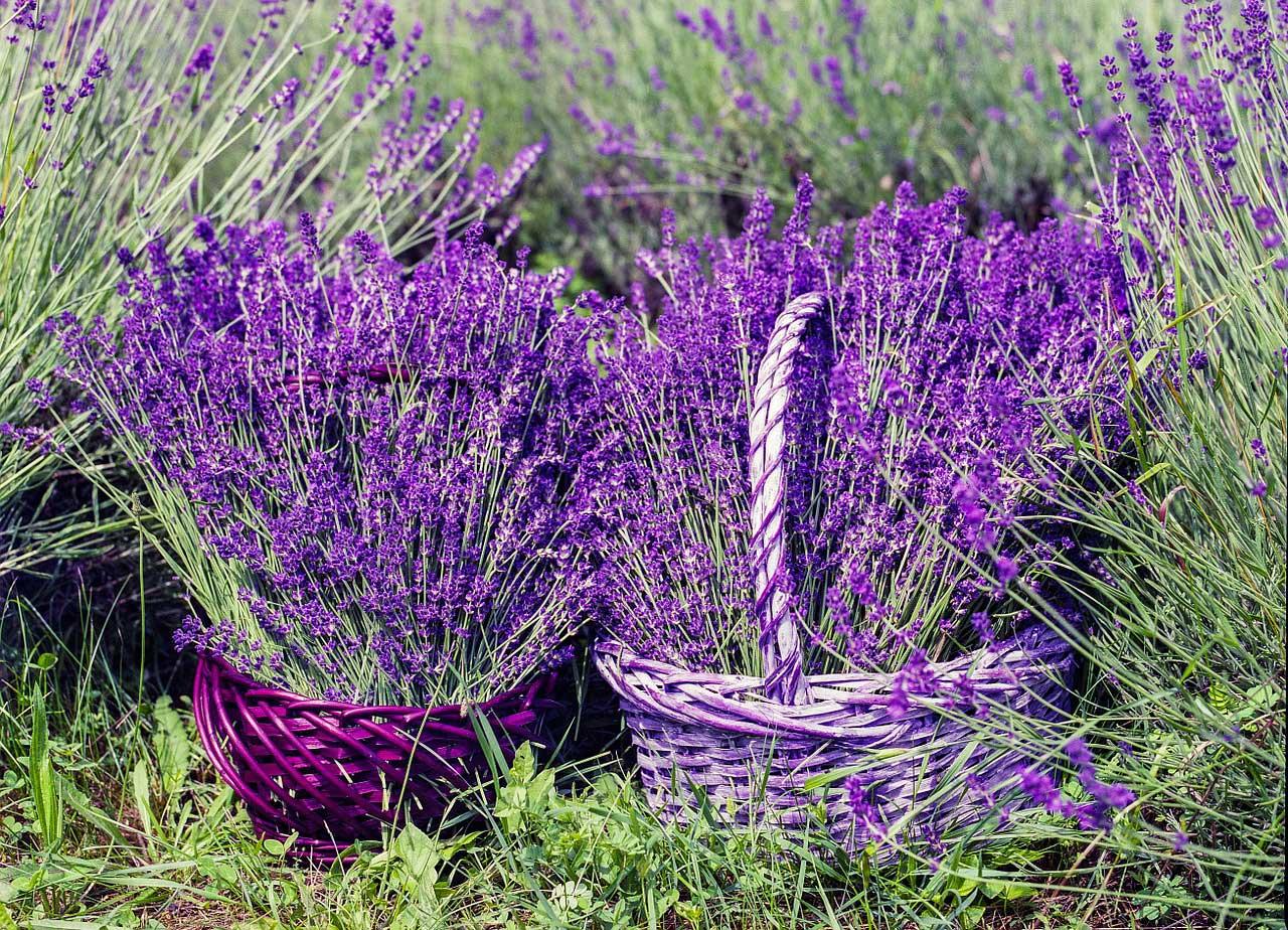 Lavendel schneiden - so geht's.