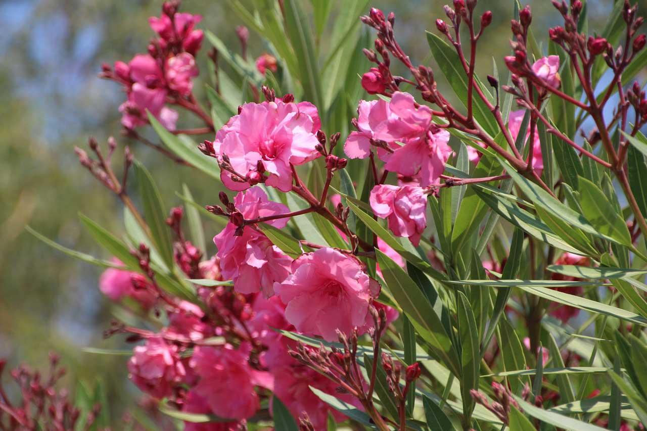 Oleander schneiden - so geht's.