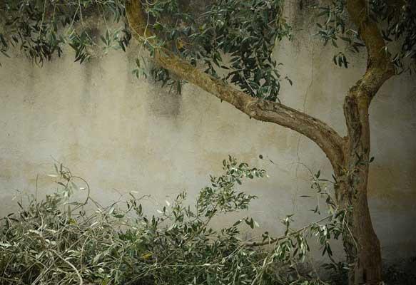 Olivenbaum schneiden Bilder - Anleitung für Zuhause