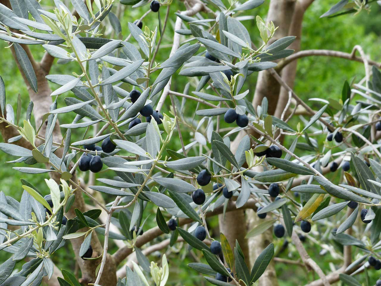 Olivenbaum schneiden - so wird es gemacht.