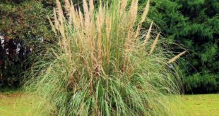 Pampasgras schneiden - Anleitung für einen Rückschnitt