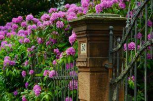 Rhododendron schneiden - Anleitung für den Rückschnitt