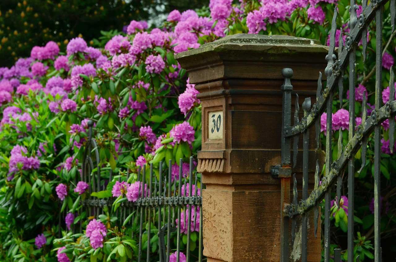 Rhododendron schneiden - so geht's.