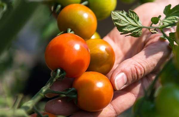 Pralle Tomaten