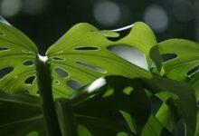 Monstera aus Samen ziehen - Anzucht und Pflege