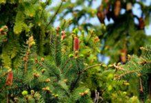 Schnellwachsende Nadelbaeume - Der immergrüne Sichtschutz