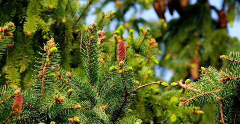 Photo of Schnellwachsende Nadelbäume als Sichtschutz