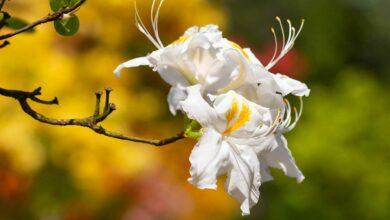 Azaleen, bemerkenswerte Sträucher für jeden Garten