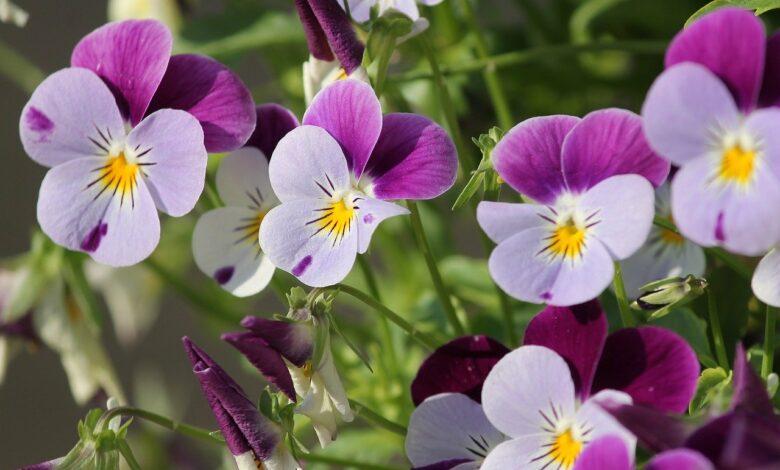 Veilchen - Pflege & Vermehrung