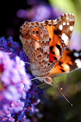Flieder-Designtipps: idealer Platz für Schmetterlinge.