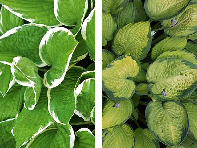 Die Farben der Hosta bestimmen ihre Lichtbedürfnisse.