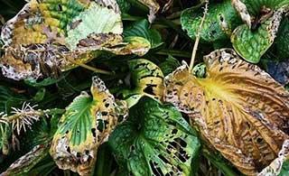 Hosta Krankheiten: Blattfäule und abgefressene Blätter.
