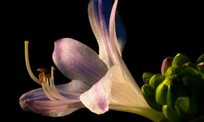 Hosta Pflanze (Funkie)
