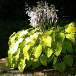 Die Hosta Pflanze ist sehr robust, wenn sie einmal ihren Platz im Garten gefunden hat.