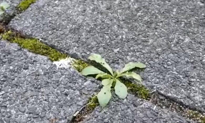 Bild von Unkraut auf Gehweg entfernen? – 6 Möglichkeiten zur Unkrautvernichtung