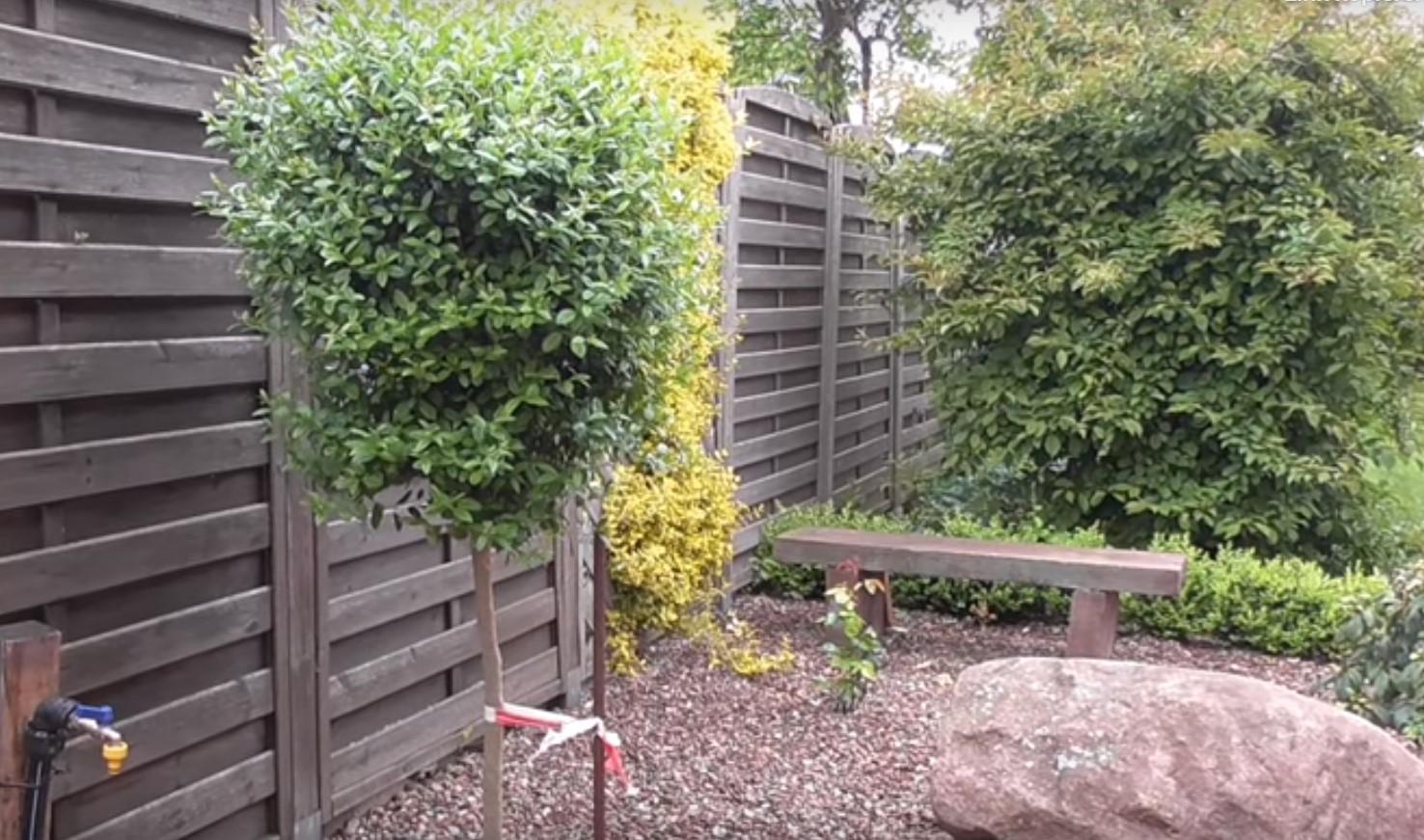 Immergrune Hecken Pflanzen Fur Den Garten Und Als Sichtschutz