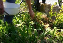 Bild von Bärlauch im Garten ernten – Unterschiede zum giftigen Maiglöckchen