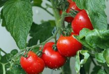 Tomatenkübel günstig selber bauen