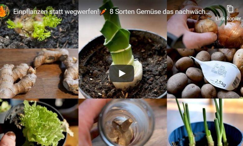 Bild von Einpflanzen statt wegwerfen! 8 Sorten Gemüse das ständig nachwächst!