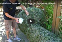 Bild von Garten Tipp: Algenkalk zur ökologischen Bekämpfung der Plage: Buchsbaum-Zünsler