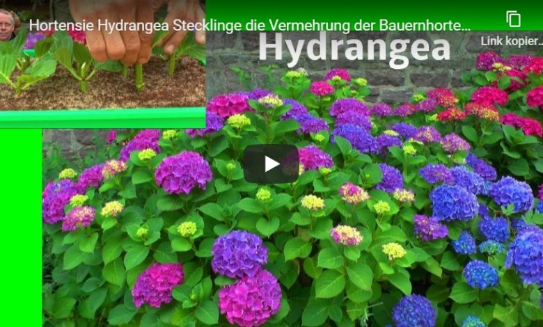 Hortensie Hydrangea Stecklinge
