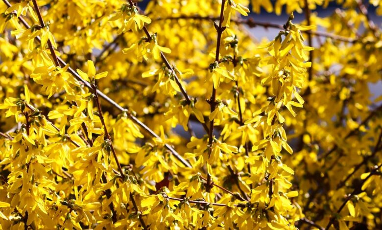 Bild von Forsythie schneiden nach der Blüte – Wie schneide ich eine Forsythie richtig