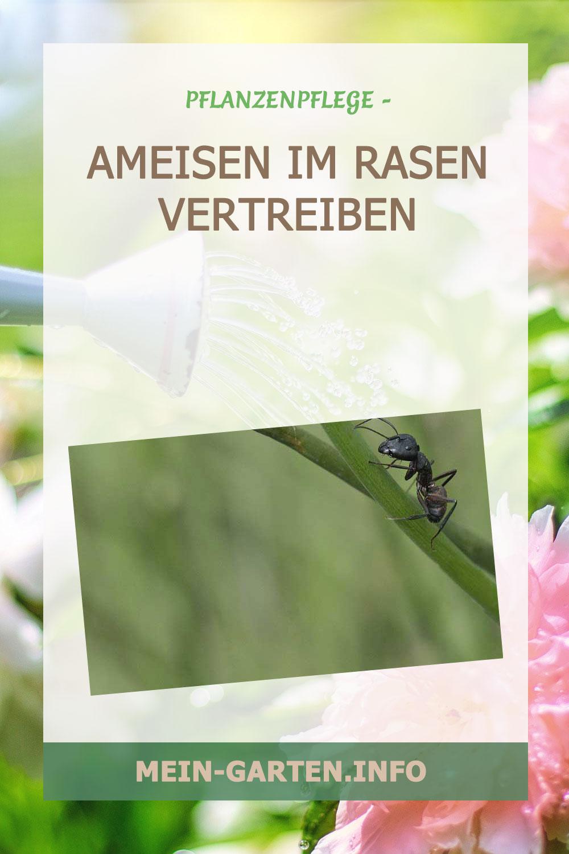Ameisen im Rasen bekämpfen – Die besten Tipps