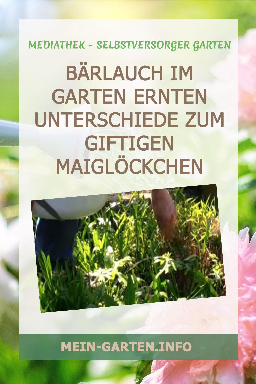 Bärlauch im Garten ernten Unterschiede zum giftigen Maiglöckchen