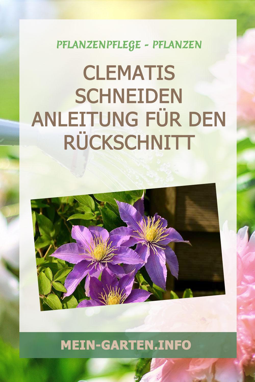 Clematis schneiden – Anleitung für den Rückschnitt