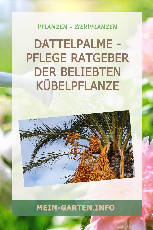 Dattelpalme – Pflege Ratgeber der beliebten Kübelpflanze