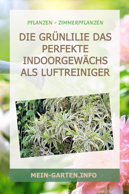 Die Grünlilie das perfekte Indoorgewächs als Luftreiniger