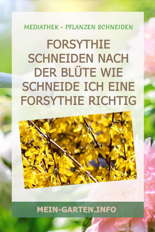 Forsythie schneiden nach der Blüte Wie schneide ich eine Forsythie richtig