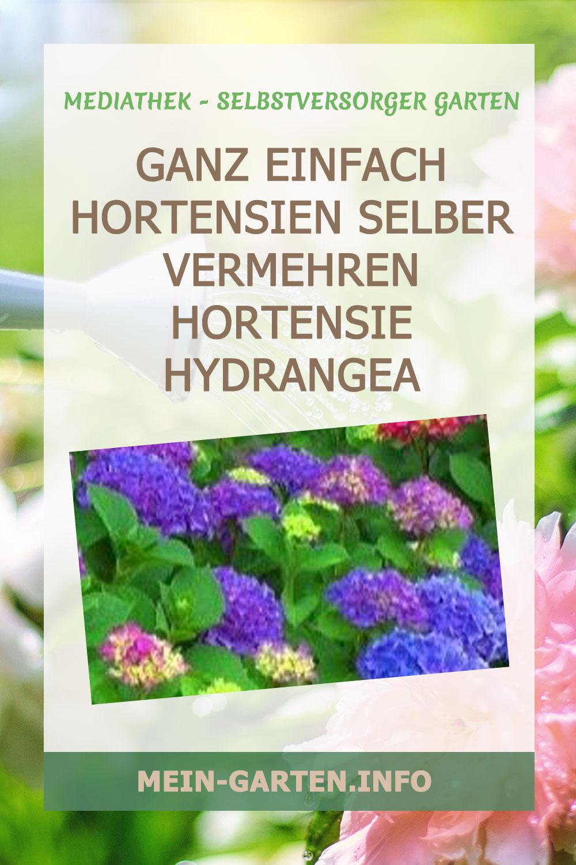 Ganz einfach Hortensien selber vermehren Hortensie Hydrangea Stecklinge