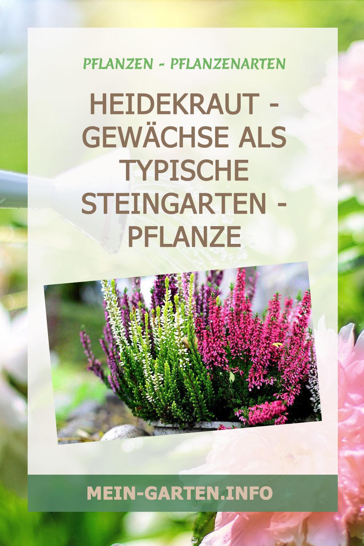 Heidekraut - gewächse als typische Steingarten - pflanze